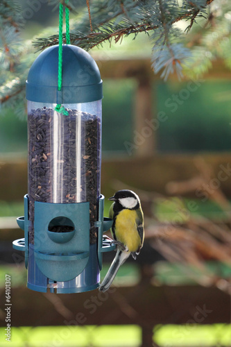 Great tit (Parus major) eating black sunflower seeds.