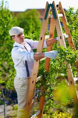 gardener prunes a tree with secateurs