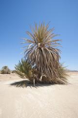 Date palm tree in desert landscape
