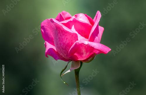 canvas print picture rosa fucsia