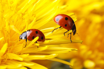 Two ladybugs on the petals of a dandelion
