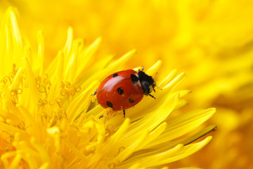 little ladybug on yellow dandelion flower macro