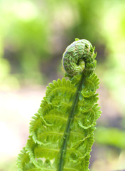 Young fern leaf closeup