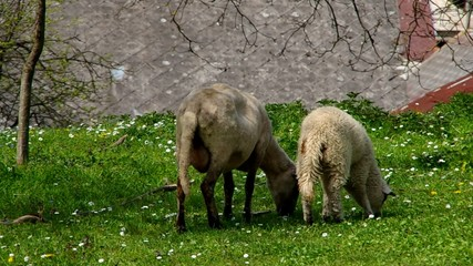 Two sheep grazing on green meadow
