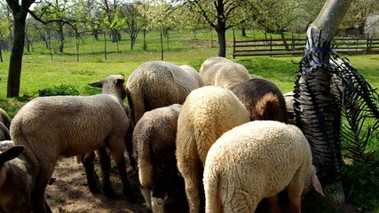 Flock of sheep in a corral under the tree