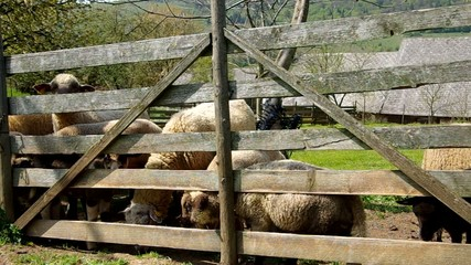Flock of sheep grazes in the corral