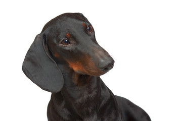 Portrait of  young smooth black and tan dachshund