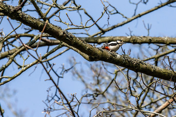 Woodpecker in a tree at springtime