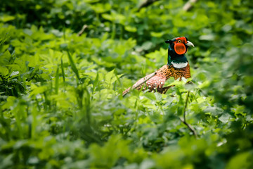 Pheasant male in nature