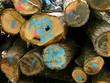 Markierte Holzstämme der Forstwirtschaft in Salzböden