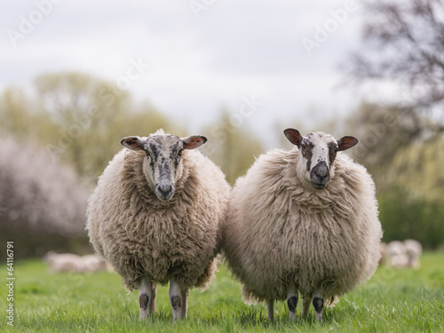 Deurstickers Schapen sheep standing in meadow