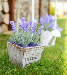 Lavender in the wooden pot placed to the grass in the garden.