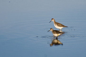 Two Sandpiper in Shallow Water