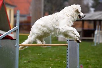 Golden retriever at agility course