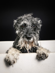 Schnauzer dog in bathtub