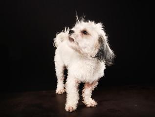Purebred Havanese dog
