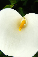 All the sensuality of a flower - Calla Zantedeschia - 192