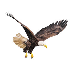 Bald eagle isolated on white background.