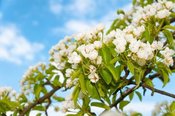 Blüten eines Birnbaums
