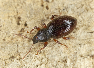 Barypeithes weevil on wood