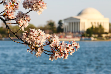 Cherry Blossom and Jefferson Memorial