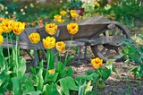 oldfashioned wheelbarrow with yellow tulips poster