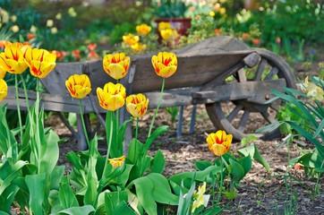 oldfashioned wheelbarrow with yellow tulips