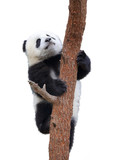 giant panda clambing