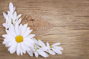 Chamomile flower with petals over old wood background. Daisy