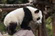 Young Panda Climbing on a Rock