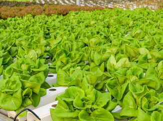 Butterhead lettuce hydroponic vegetables plantation