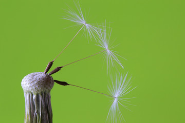 Detail of the Dandelion on the green Background