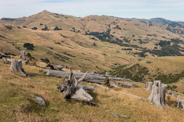 felled trees on grassy slopes in Banks Peninsula