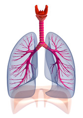 Human lungs and bronchi , isolated
