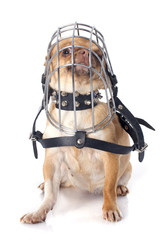 chihuahua in muzzle