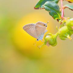 Butterfly (Peablue) lay eggs