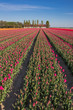 Field of  purple tulips and a farm