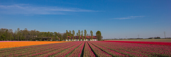 Panorama of a field of  pink, red and yellow tulips and farm