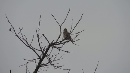 Thrush Fieldfare sitting on a tree and sing