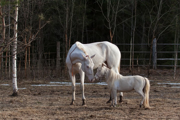 Akhal Teke mare and mini horse stallion