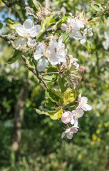 Buds and flowers of an apple tree
