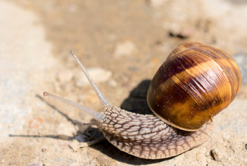 Domestic snail