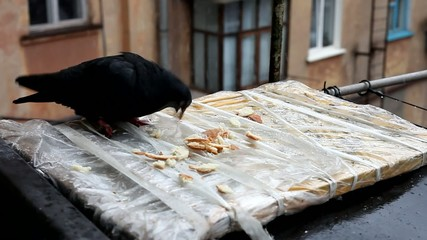 black dove, Ukraine , pigeon pecks bread