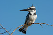 A Pied Kingfisher (Ceryle rudis) on a slender branch