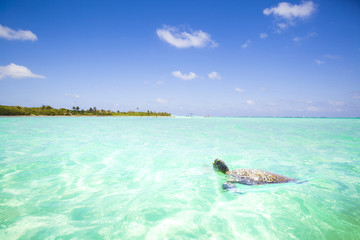 Caribbean Sea scenery with turtle