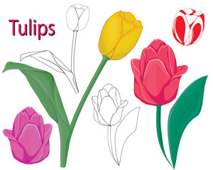 tulip flowers. contours of flowers on a white background.