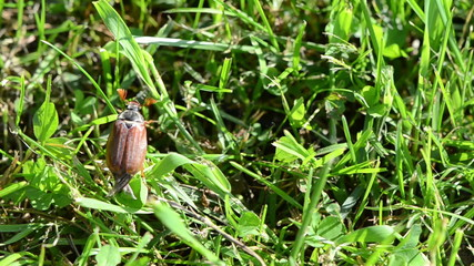 beetle crawls up arrow grass stems spreads wings