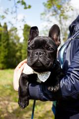 french bulldog wearing necktie