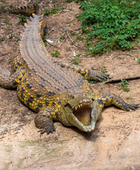 portrait of a big crocodile