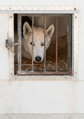 Sled Dogs Waits in Transport Truck